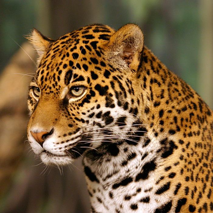 Monitoreo del jaguar en México