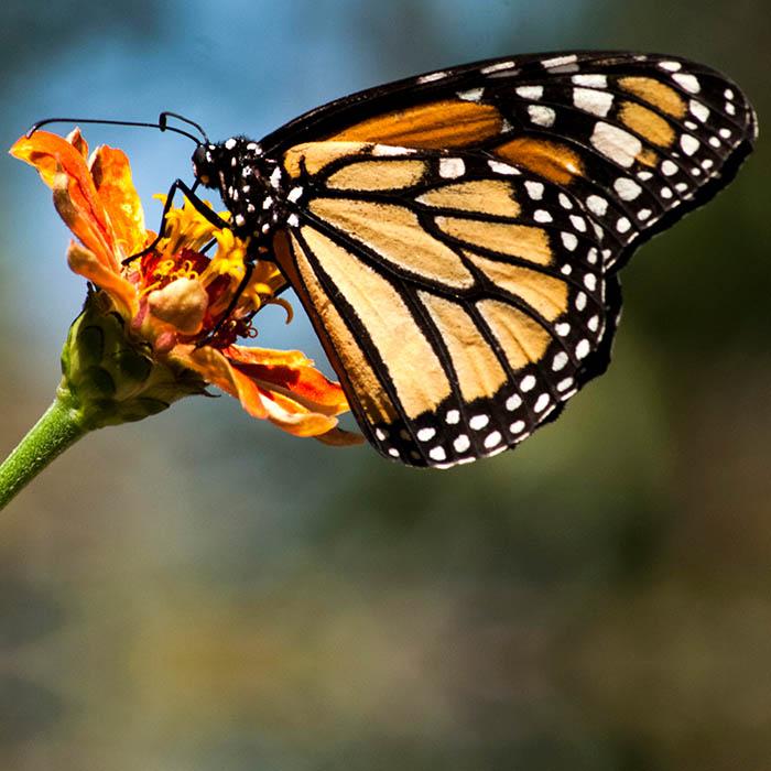Mariposa Monarca - Maratón