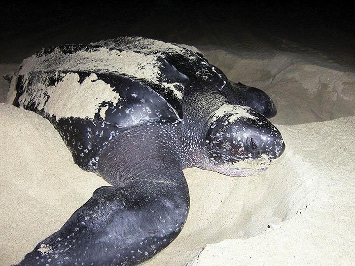 tortugas marinas 3