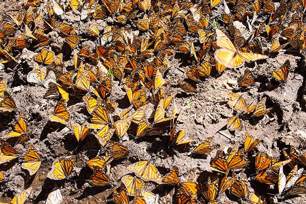 Mariposa-Monarca-WWF-Telcel-4