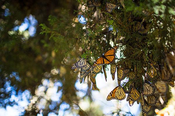 Mariposa-Monarca-WWF-Telcel-6