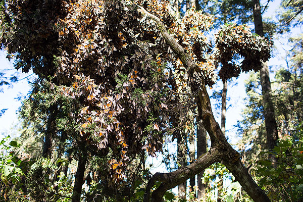 Mariposa-Monarca-WWF-Telcel-7