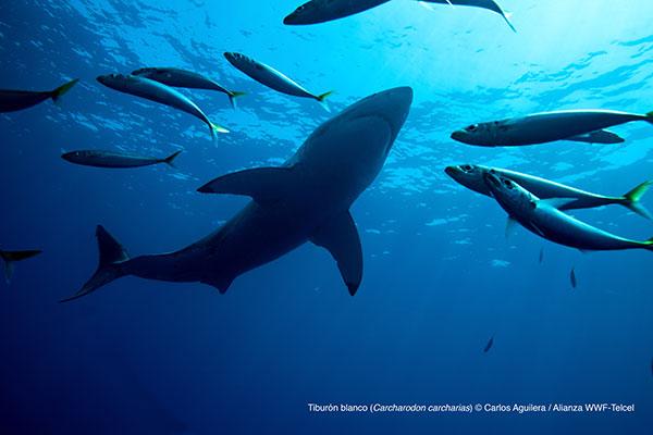Tiburón-blanco_AlianzaWWF-Telcel-3