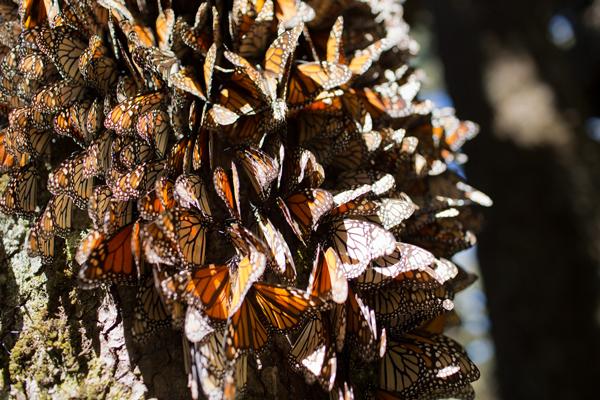 Mes de las Mariposas Monarca