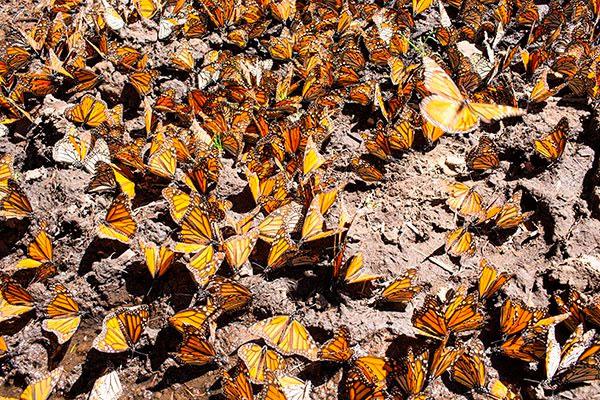 mariposa-monarca-wwf-telcel