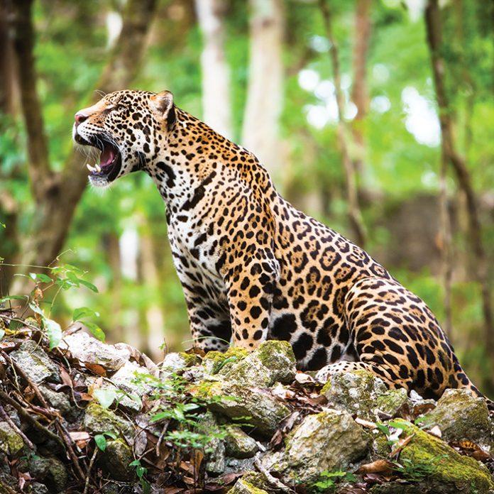 Jaguar en México