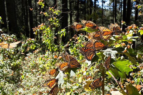 mes-mariposa-monarca-3