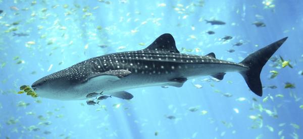 El pez más grande del mundo puede ser visto cada año en las costas mexicanas. Foto: vistaalmar.es