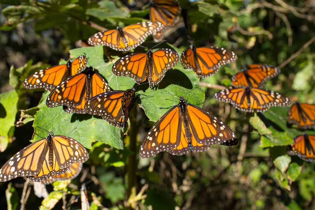 La mariposa monarca llega a los Bosques Templado de Michoacán desde Canadá cada año. (Foto: Telcel)
