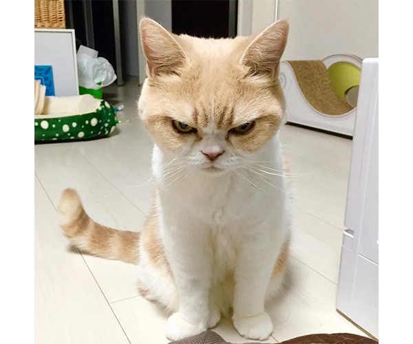 Koyuki, el Grumpy Cat japonés, siempre parece querer golpear a alguien. (Foto: Pinterest)