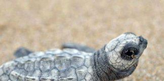 tortuga golfinho bebé