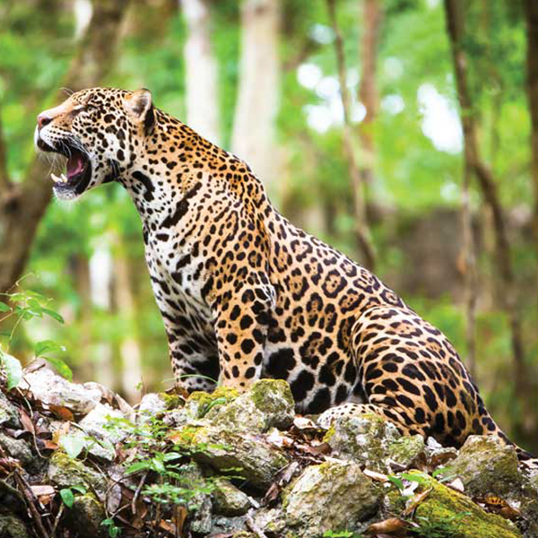 jaguar mexicano