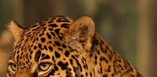 jaguar mexicano