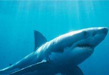 El gran tiburón blanco, protector de los océanos