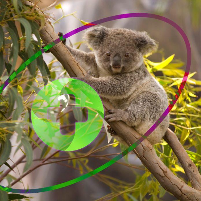 Hospital koalas Australia