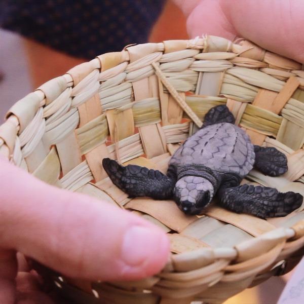 Liberación tortugas