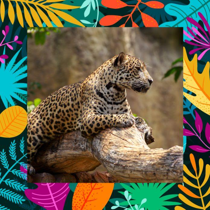 Jaguar Amigo Balam