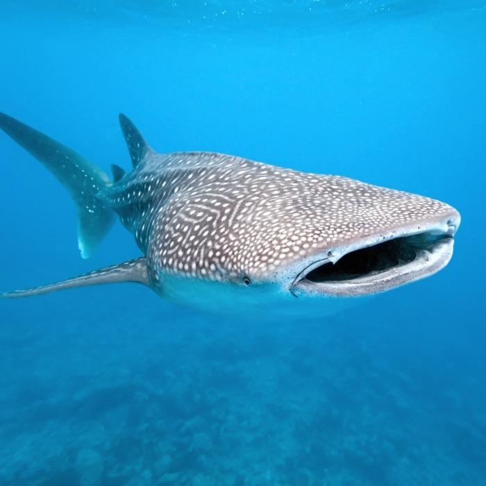 Proyecto Tiburón Ballena