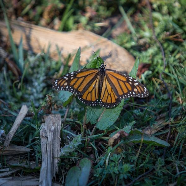 Mariposa Monarca en el bosque sobre una piedra