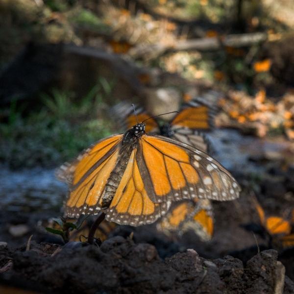 Mariposas monarcas en el bosque