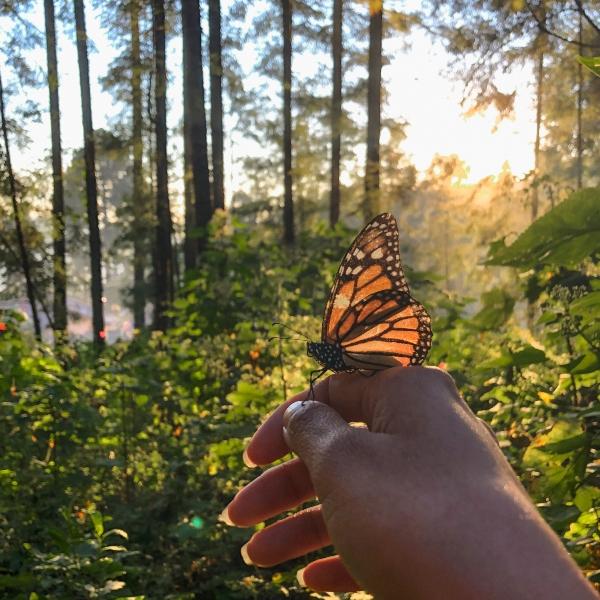 Mariposa monarca en mano, en el bosque atardecer