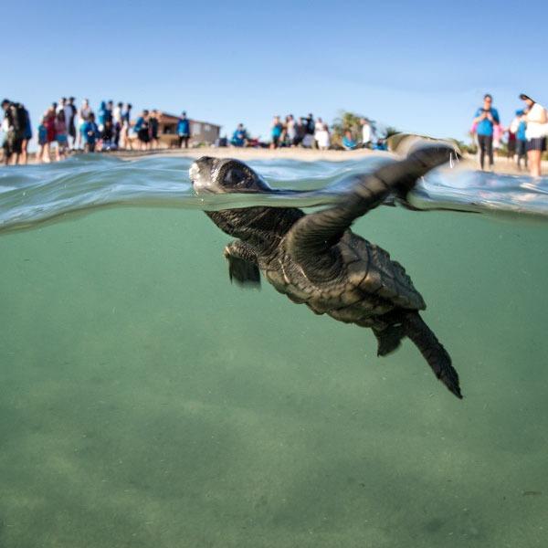 proyecto tortuga golfina