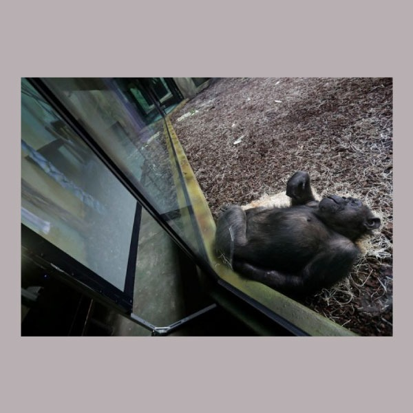 chimpancés que hacen zoom para comunicarse entre ellos y hacerse compañía