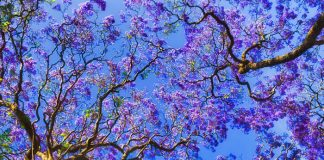 5 datos curiosos que no conocías de las jacarandas, ¡los árboles de la primavera!