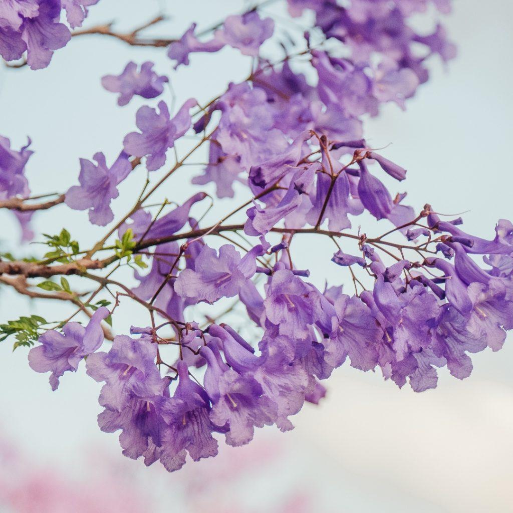 Flor de jacaranda cómo es