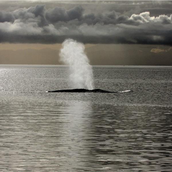 ballena azul en el mar
