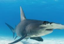 tiburon martillo
